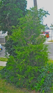We planted two Eastern Red Cedars, including the Famous Leaning Cedar of Duffy's Creek. A Mockingbird planted this one.